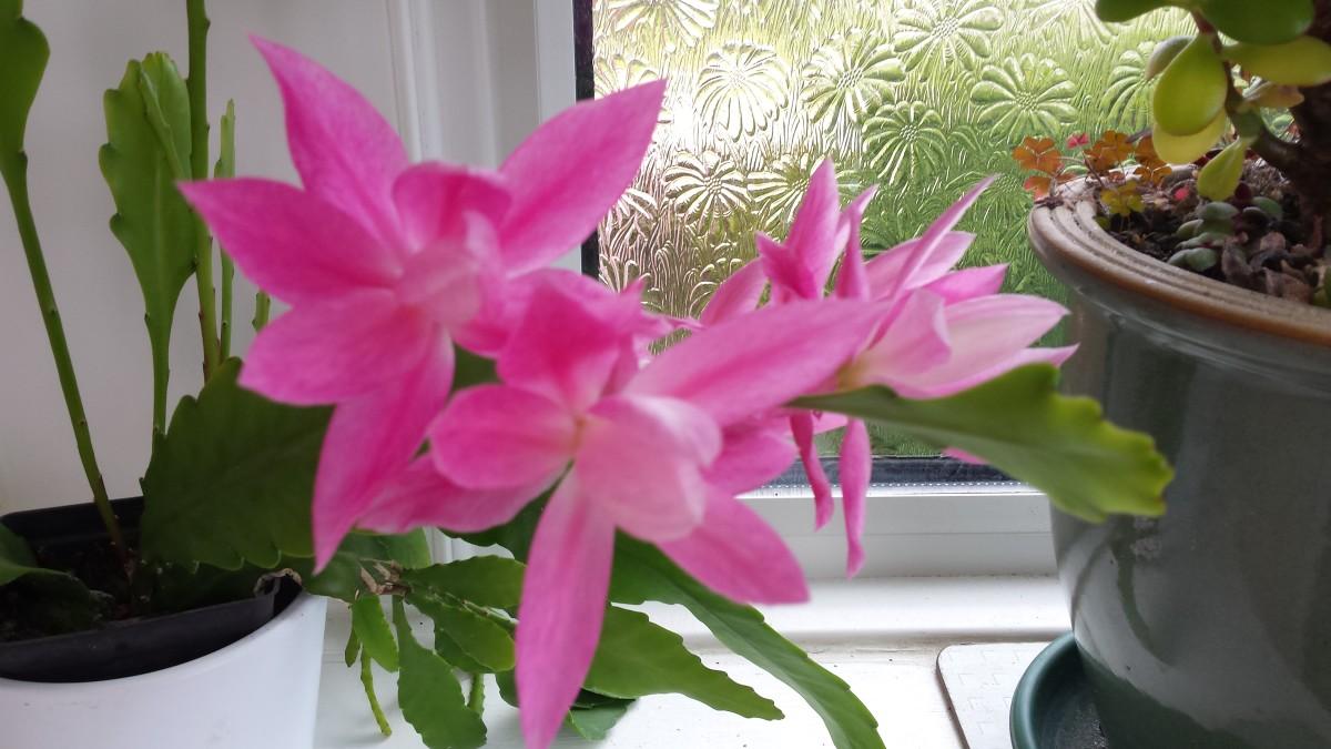 New Cactus flowers