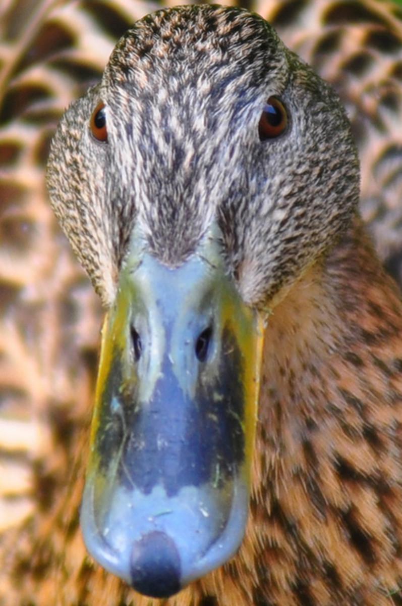 Anas platyrhynchos - Female Mallard