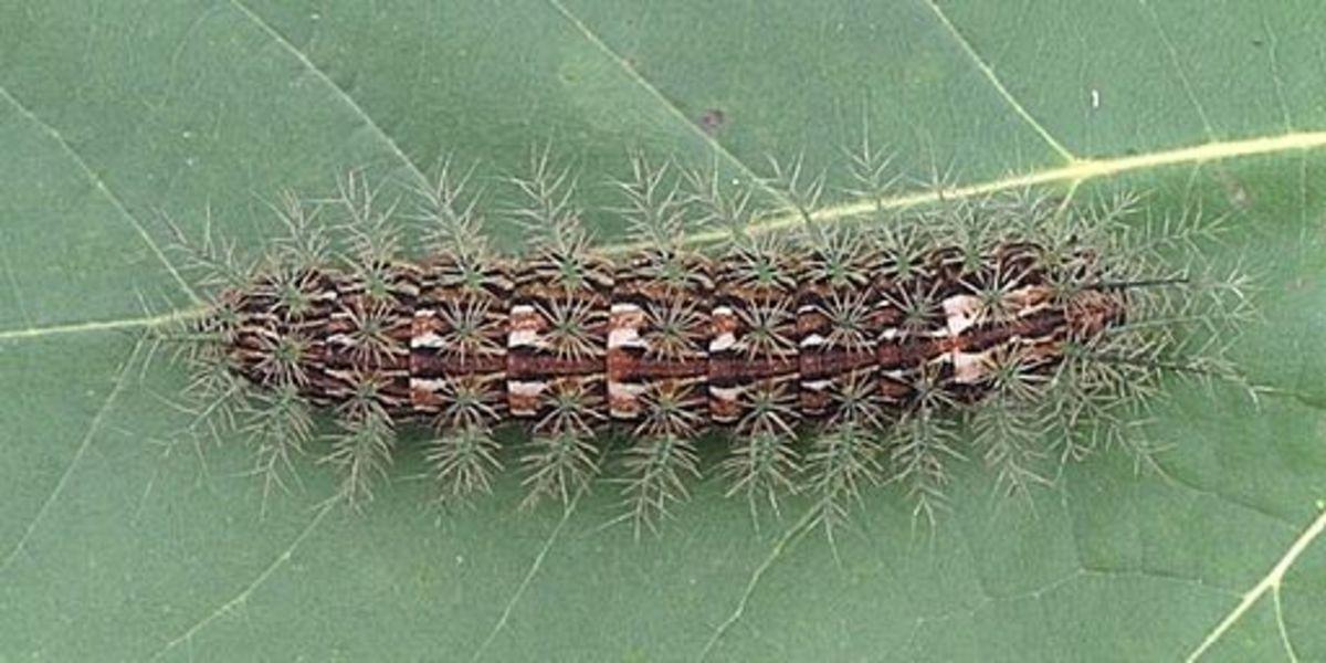 deadly-caterpillar