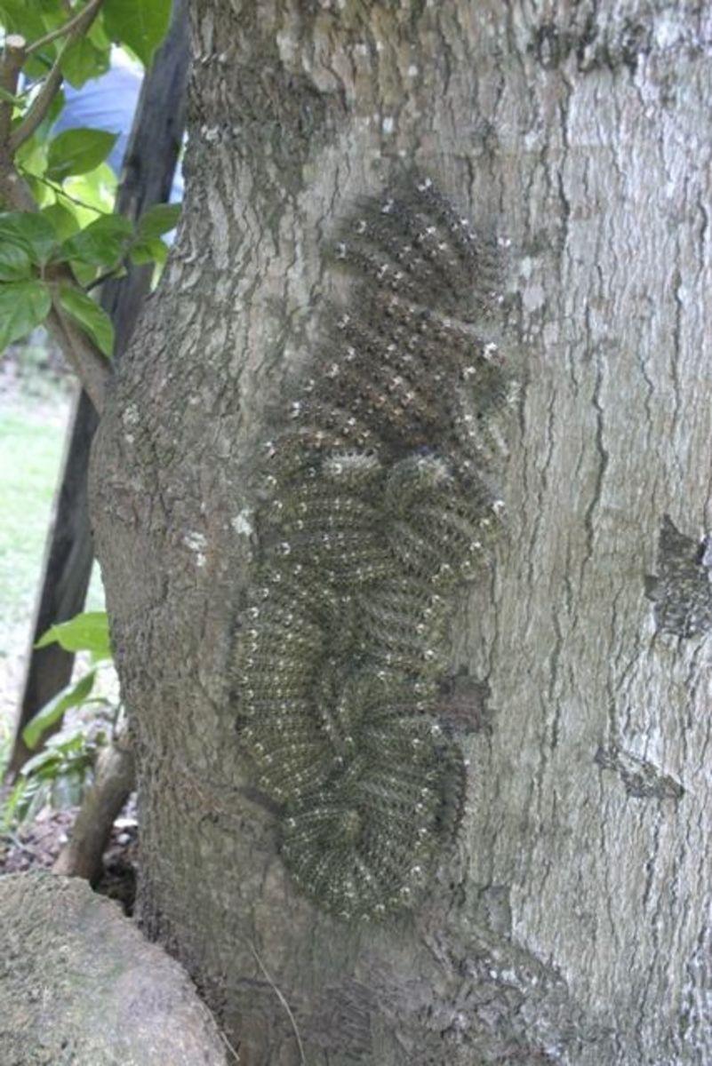 Lonomia Obliqua A Stinging Caterpillar That Can Kill You