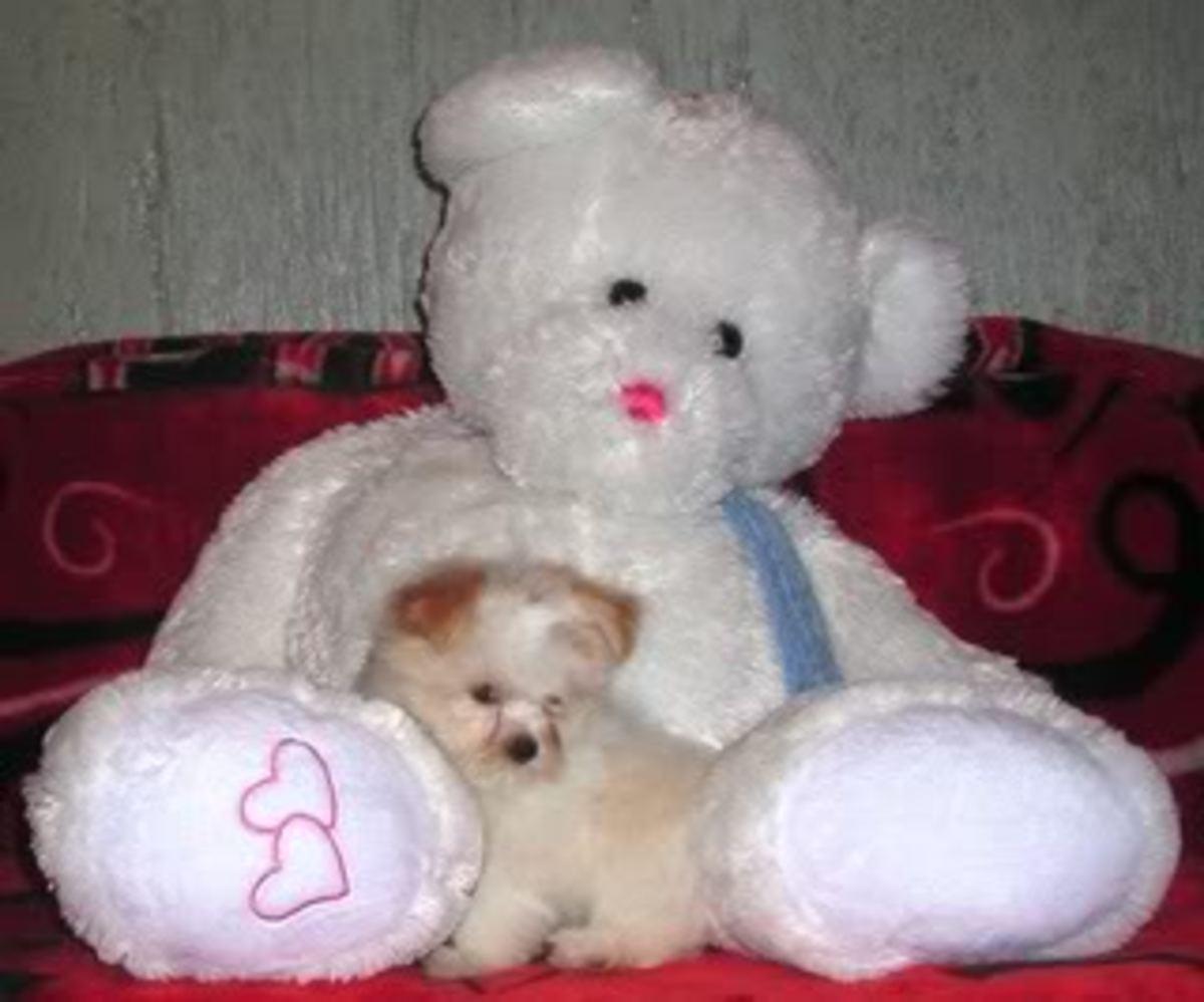 Goldi Porkie and The Bear