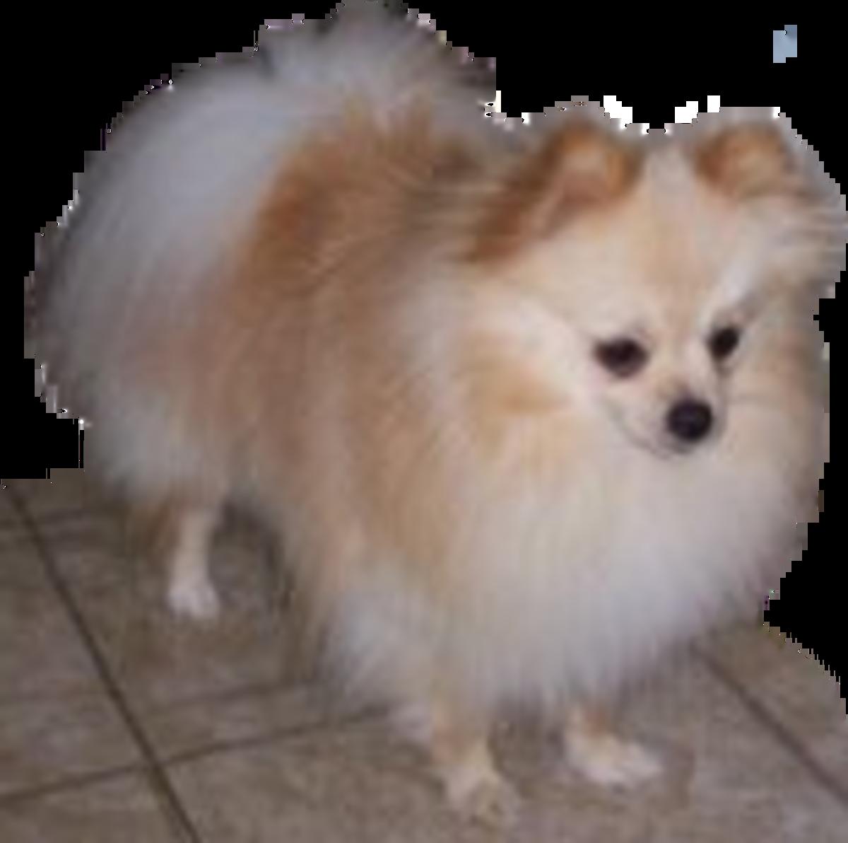 Bentley the Pomeranian dad