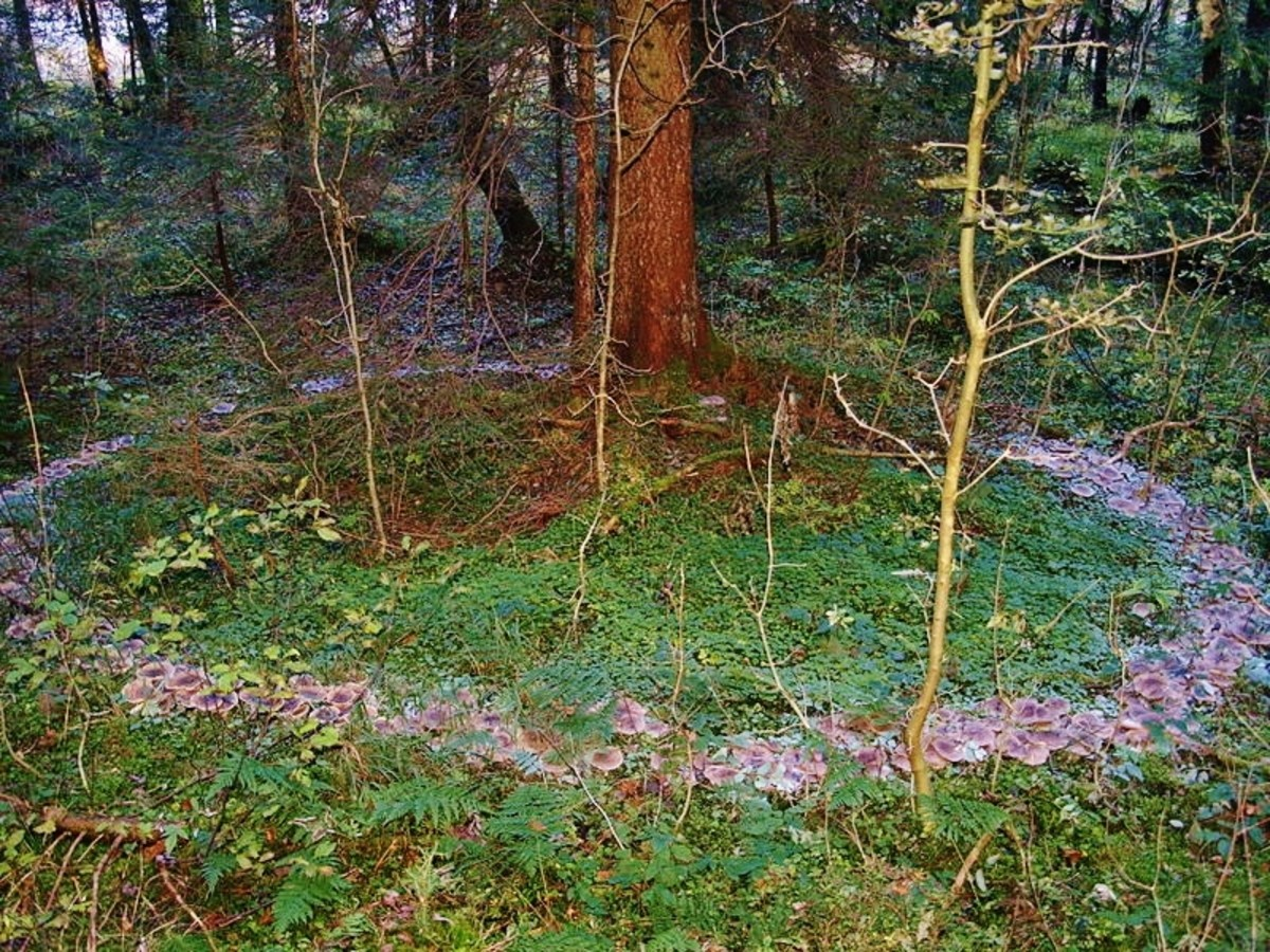 A fairy ring circles a tree, this may also be a fairy tree!
