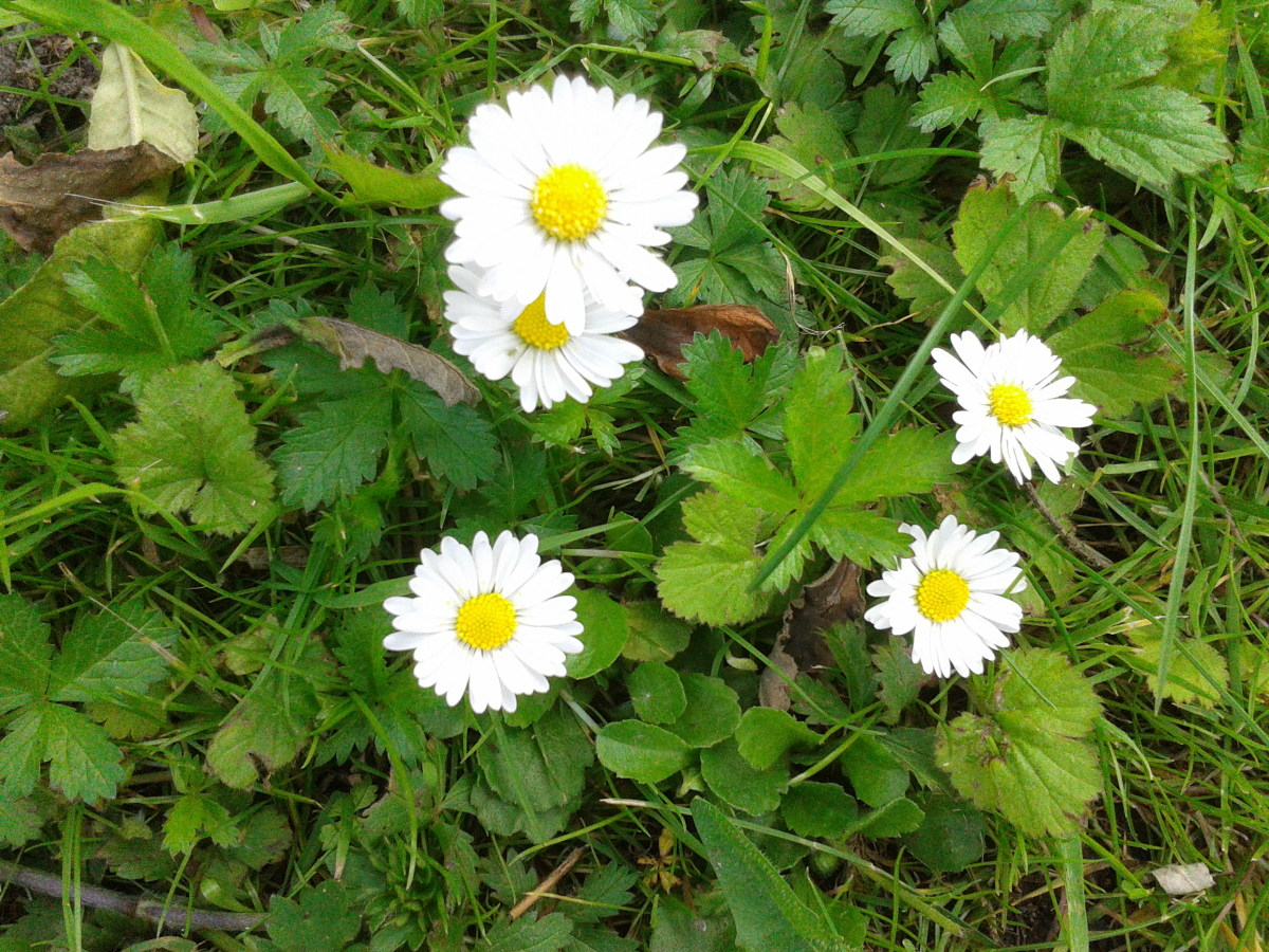 Daisies in my Garden