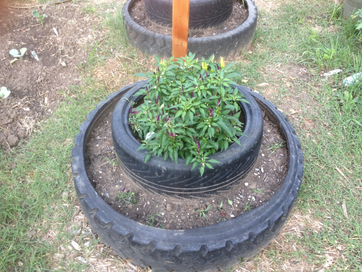 Miniature pepper plants planted in a double tier used tire raised palnter.