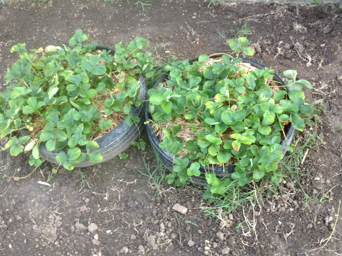 Everbearing and Junebearing strawberry plants planted in a used tire planter.