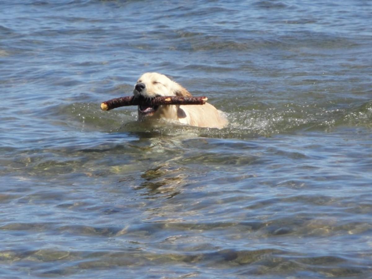 Yellow Labrador Retriever , retrieving stick