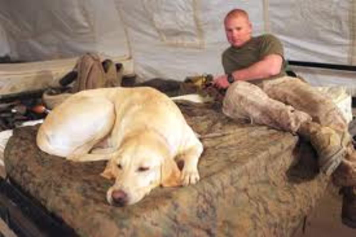 Labrador Retriever serving it's country