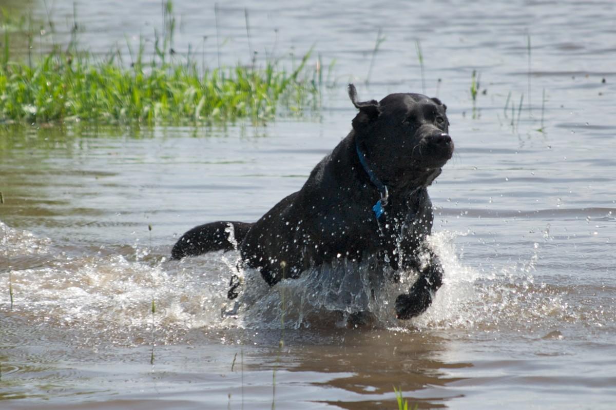 Black Labrador Retriever running through water