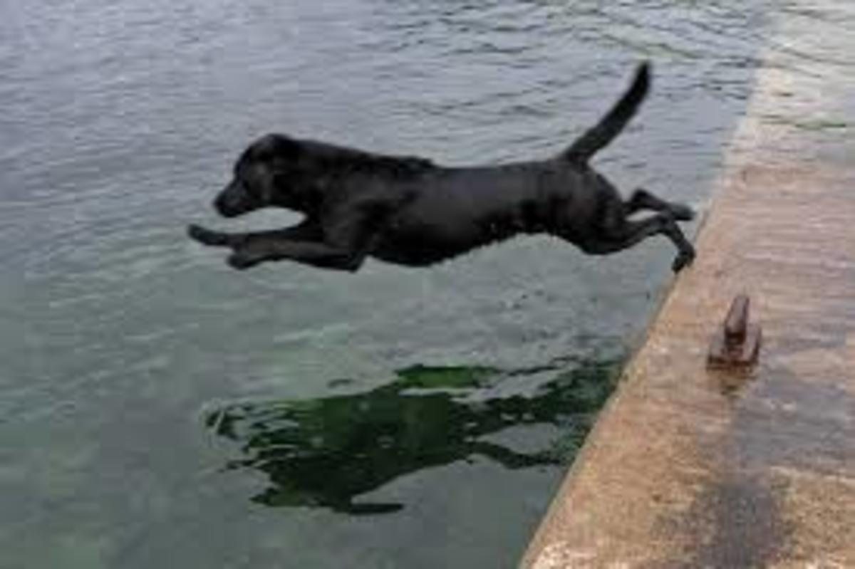 Black Labrador Retriever jumping into water