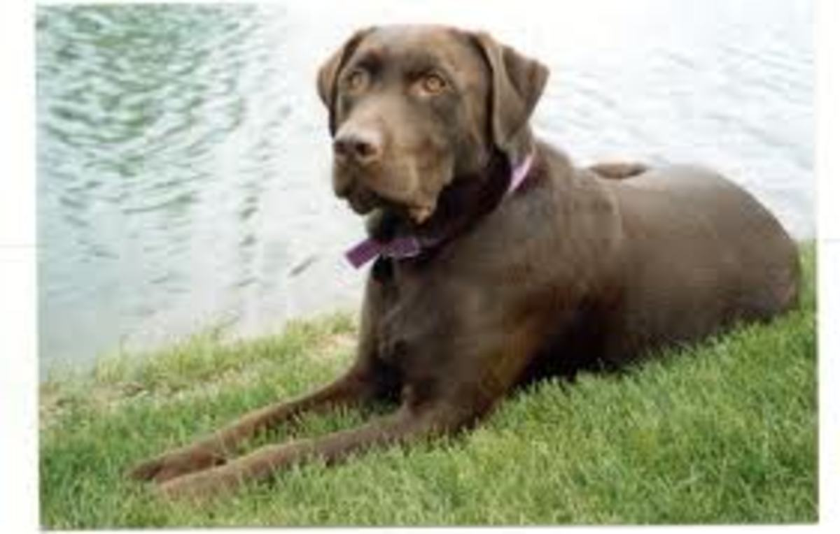 Labrador RetrieverChocolate