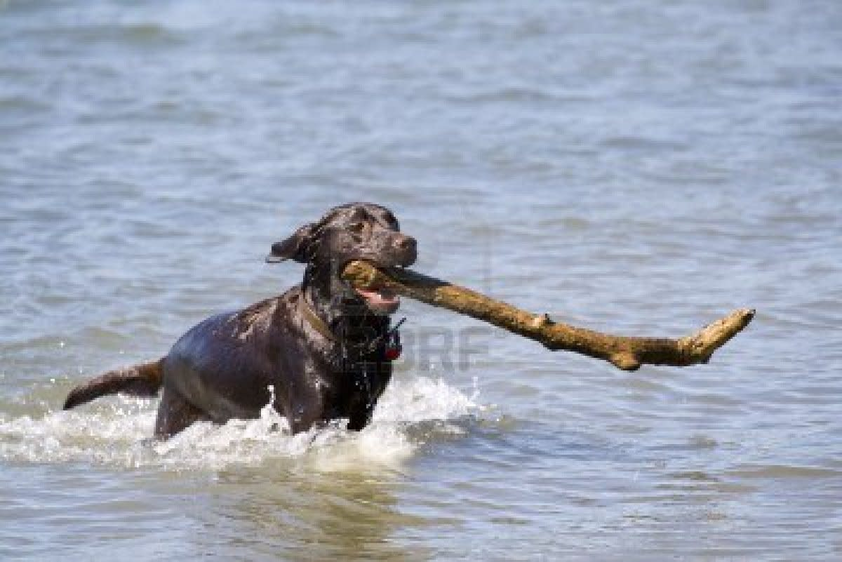 Black Labrador Retriever catching stick
