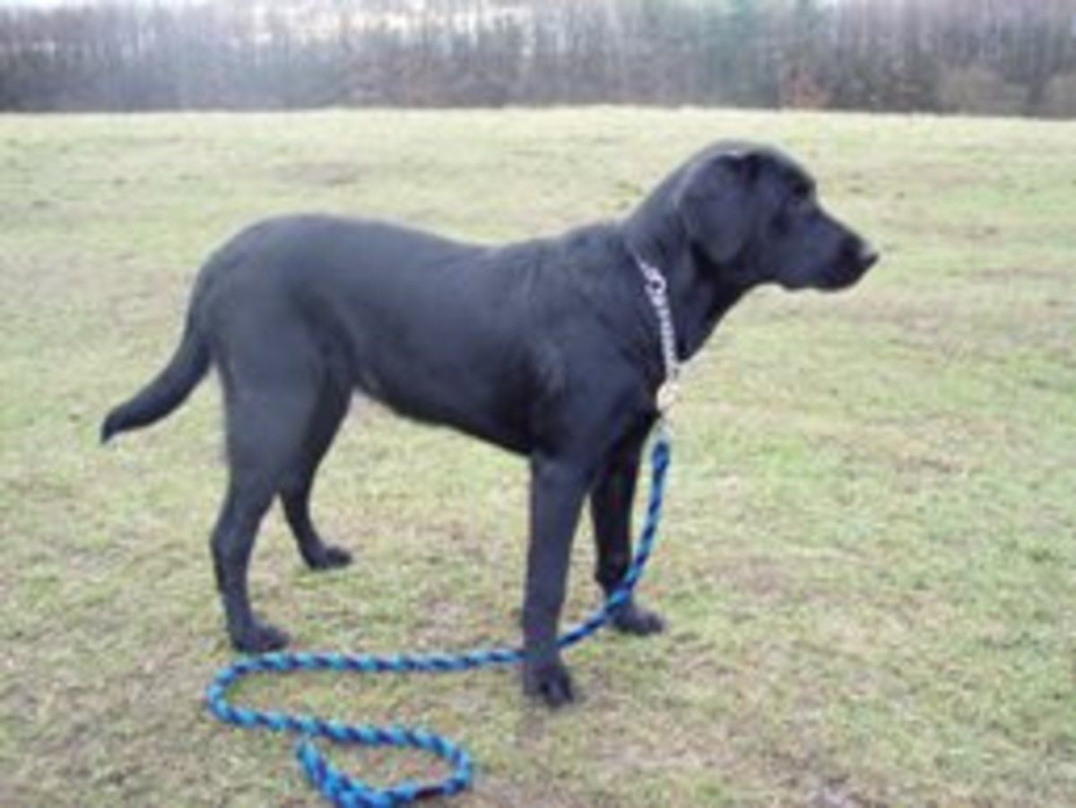 Black male Labrador Retriever