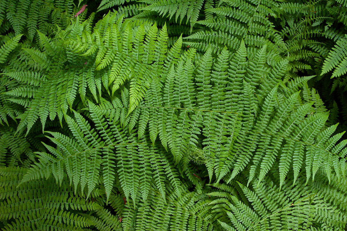 Ferns at Muir Woods, California