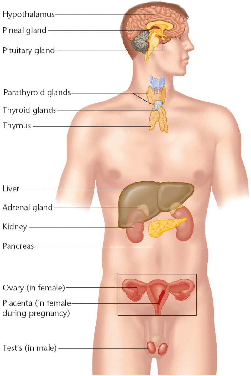 Developmentally, the origin of the endocrine system can be traced back to all the three germ layers. Though the components of the endocrine system can be conventionally classified into separate groups, based on their anatomy