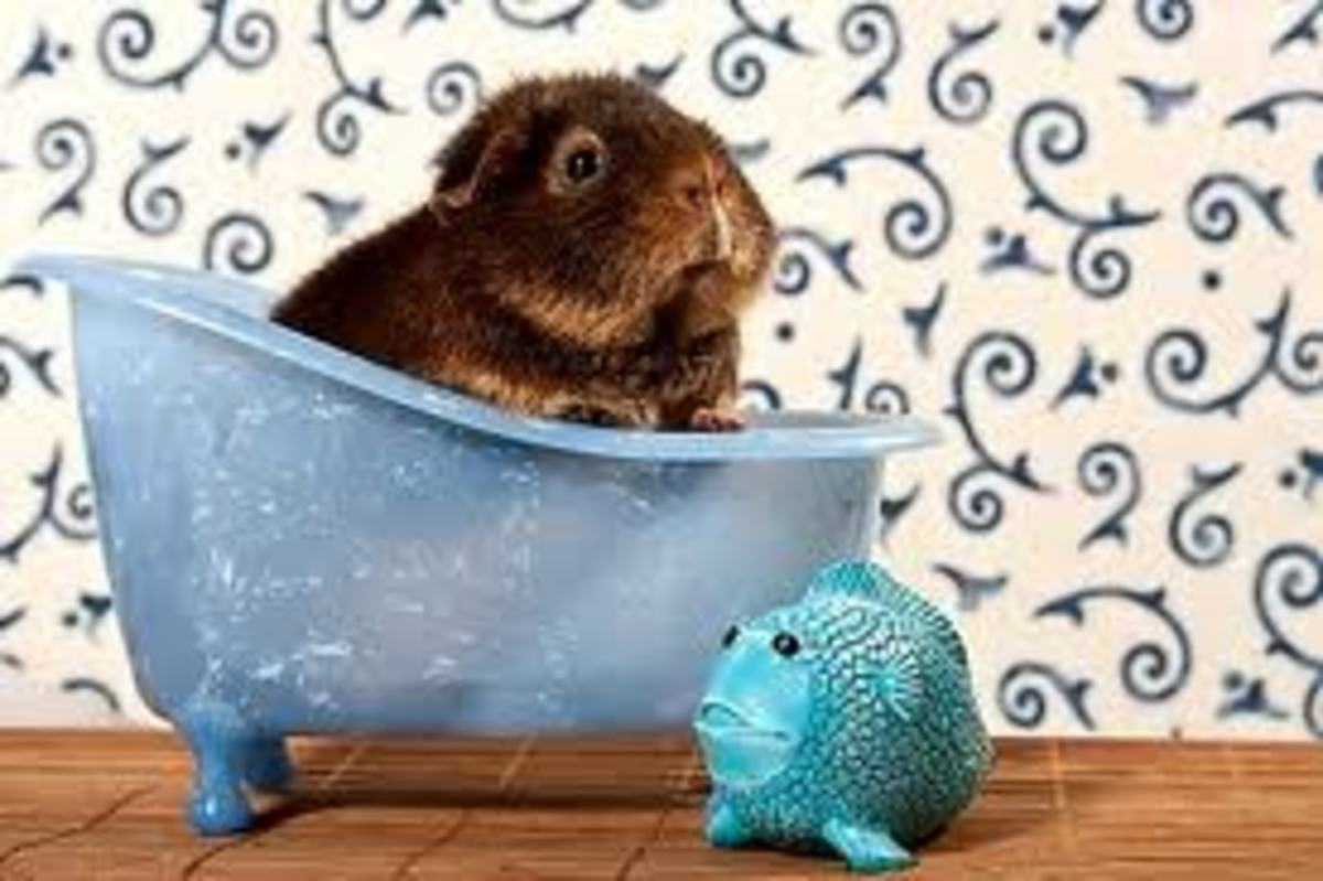 Bath time for the guinea pigs!