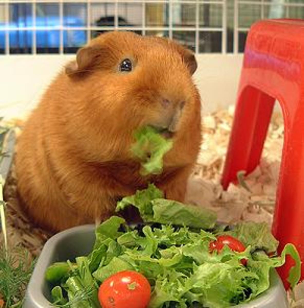 A guinea pig enjoying some fresh vegetables.