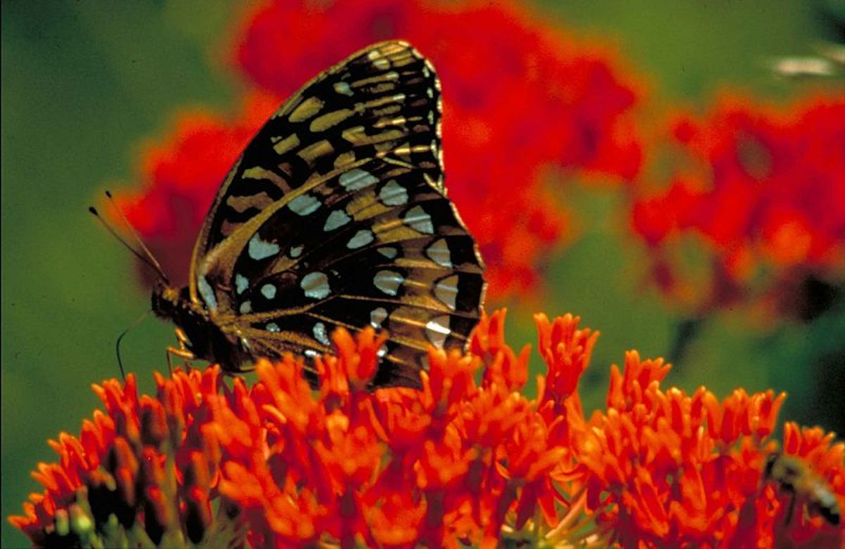 Solid Orange Milkweed flowers, with a beautiful Great Spangled Fritillary Butterfly on it.