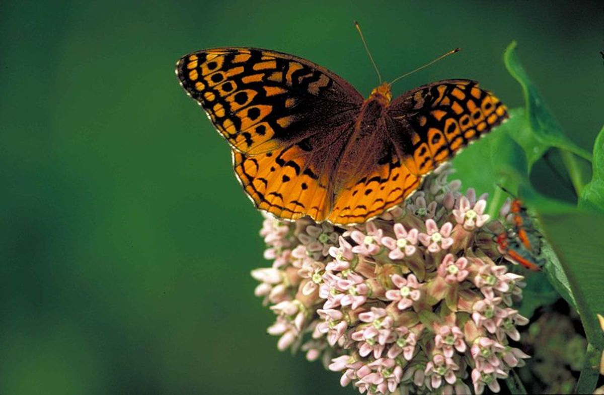 The caption where this image is from, states that this butterfly is a Great Spangled Fritillary, in particular.