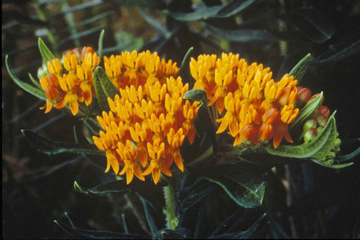 Solid yellow milkweed flowers.
