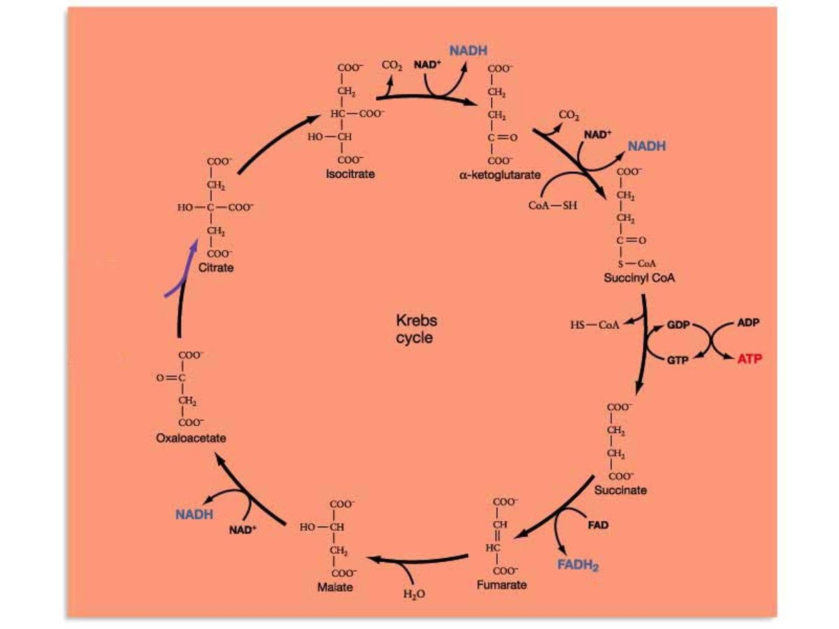 The Krebs cycle, or glycolosis