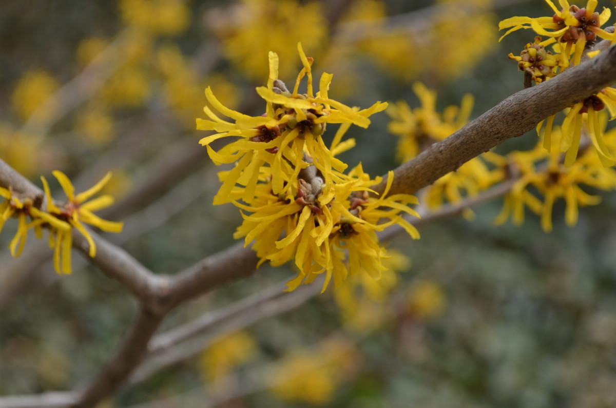 Hamamelis x Intermediate 'Doerak' Hamamelidaceae