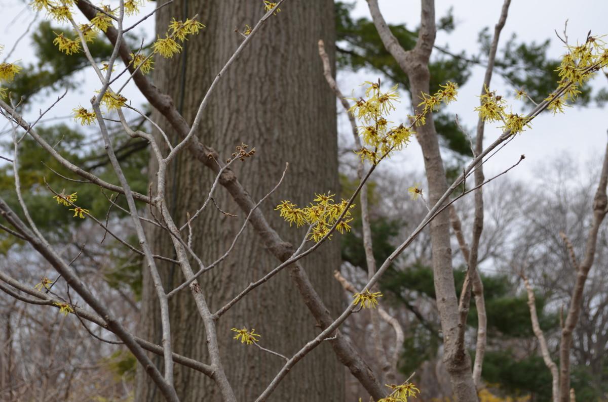 Hamamelis x Intermedia 'Arnold Promise.'  Hamamelidaceae.