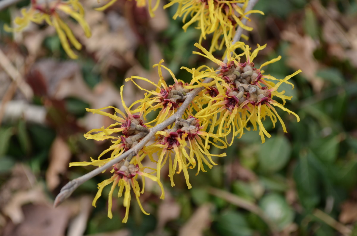 Witch Hazel - Hamamelis 'Heinrich Bruns.'  Look at these interesting little flowers!  They are unlike any others I know of.  Such neat colors at the end of a colorless winter in the area.