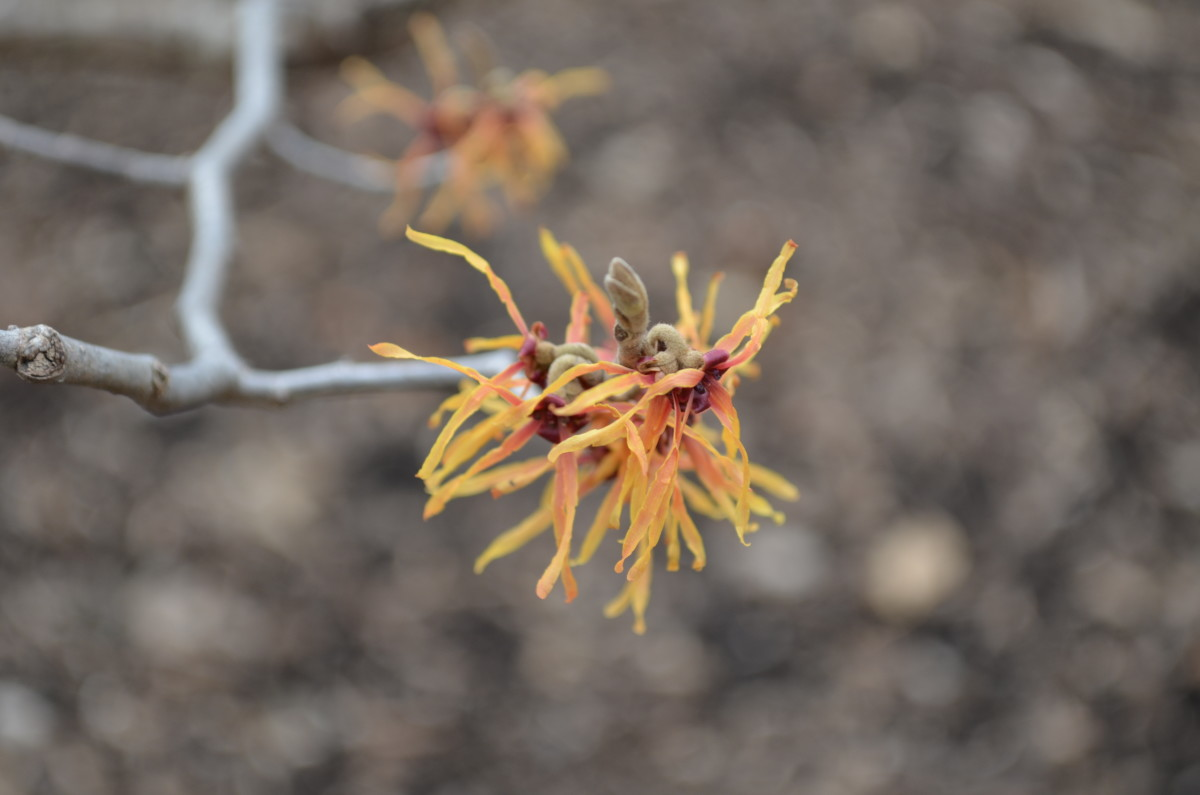 Hamamelis x Intermedia 'Fire Charm.'  Hamamelidaceae.  I love the color variations on this witch hazel tree.