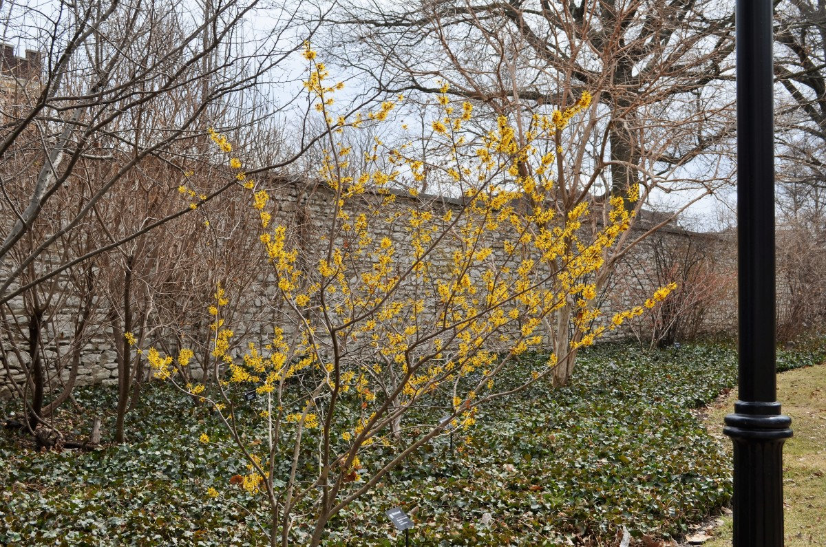 Hamamelis x Intermediate 'Doerak' Hamamelidaceae.  A lovely bright little Witch Hazel Tree with bright yellow blooms.