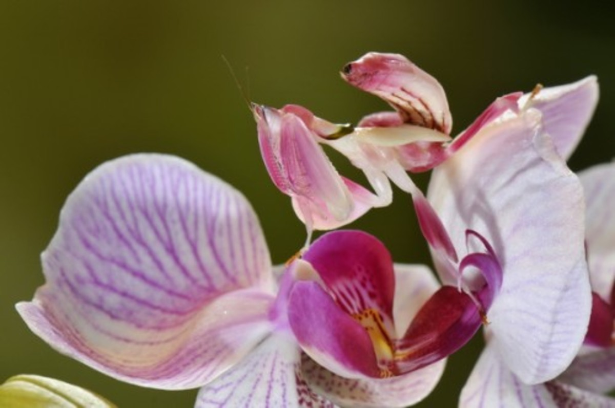An orchid flower praying mantis. Do you see it?