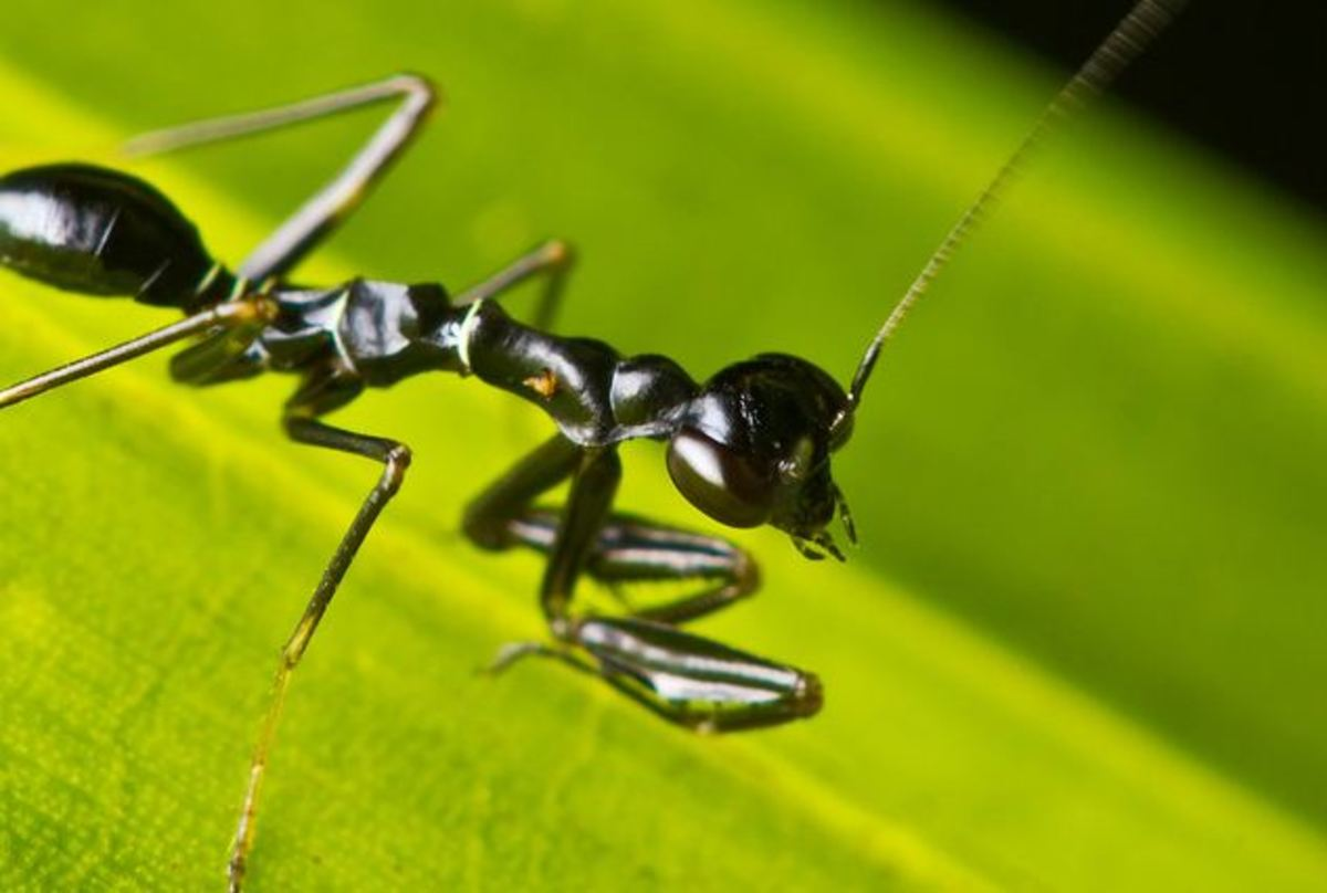 A praying mantis mimicking a black ant.