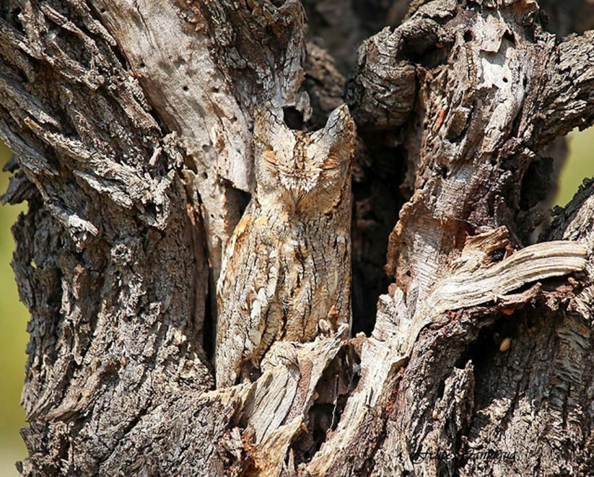 An owl using coloration of its features to mimic a dead tree.