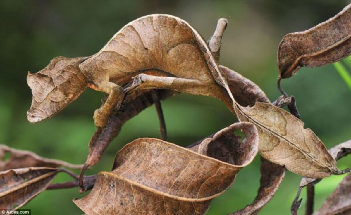 A gecko mimicking a brown leaf on a tree branch