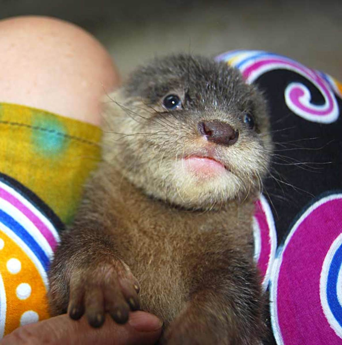 Nothing cuter than a baby otter. Nothing stinkier either! You have to toilet them like a kitter or dog puppy, as they don't eliminate on their own.