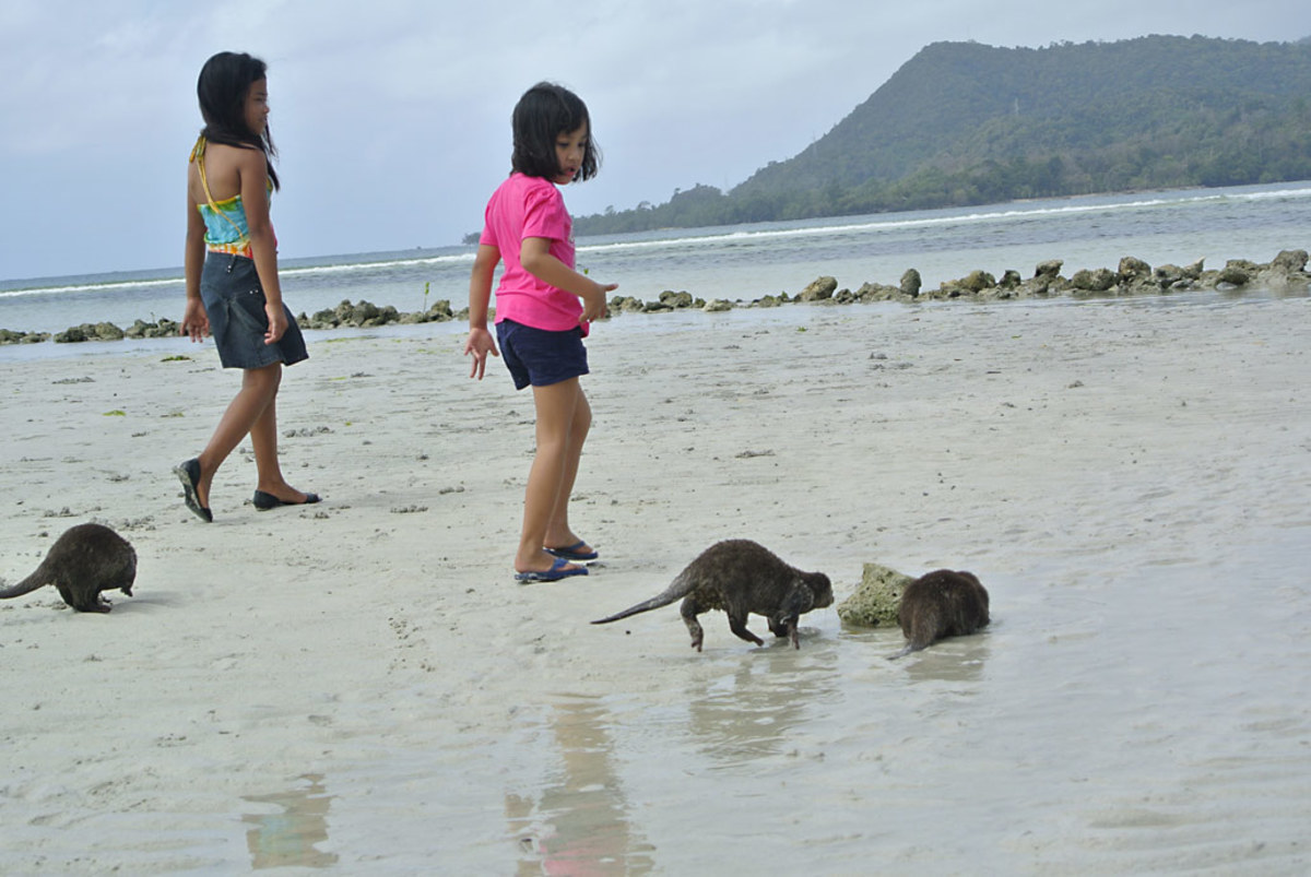 Out on their first foray to the nearby mangrove beach to learn to fend for themselves.