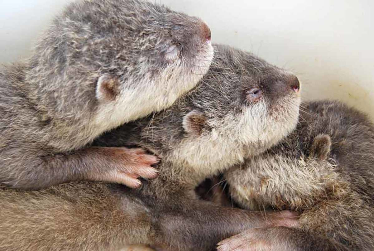 Always touching. Their paws are soft like a baby. Three brothers. At over a month their eyes began to open just a slit. These otters mate for life.