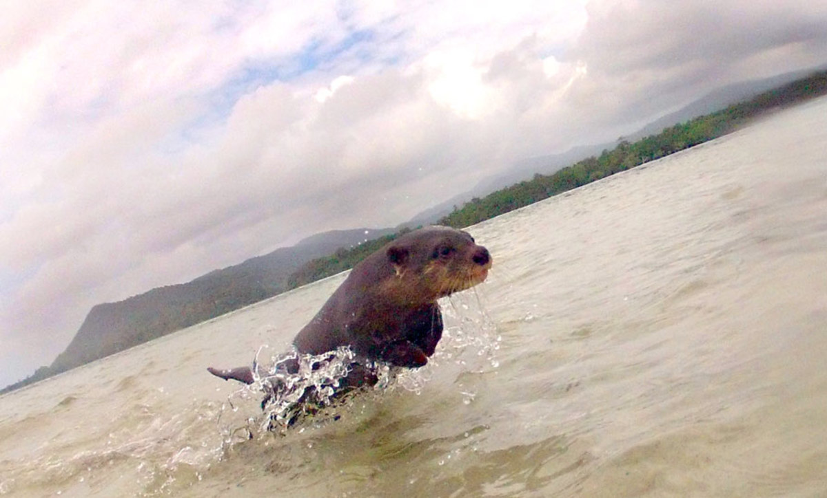 Otter was scared by a smallish wave and scooted back to shore.