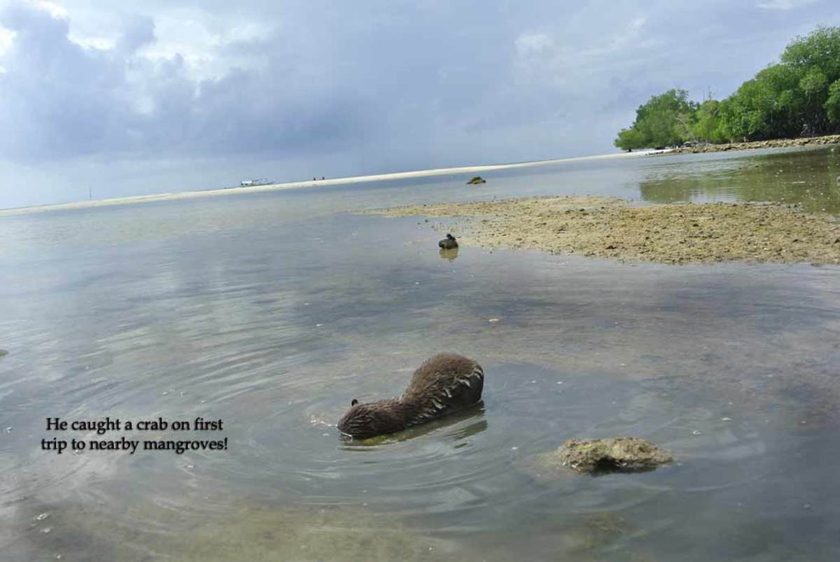 We take the otters to the nearby mangroves when we can so they can learn to forage on their own.