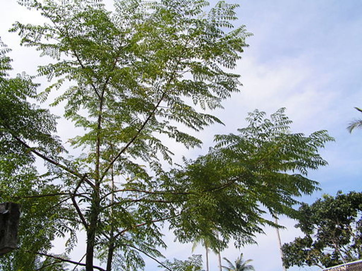 Uses Of Neem Trees