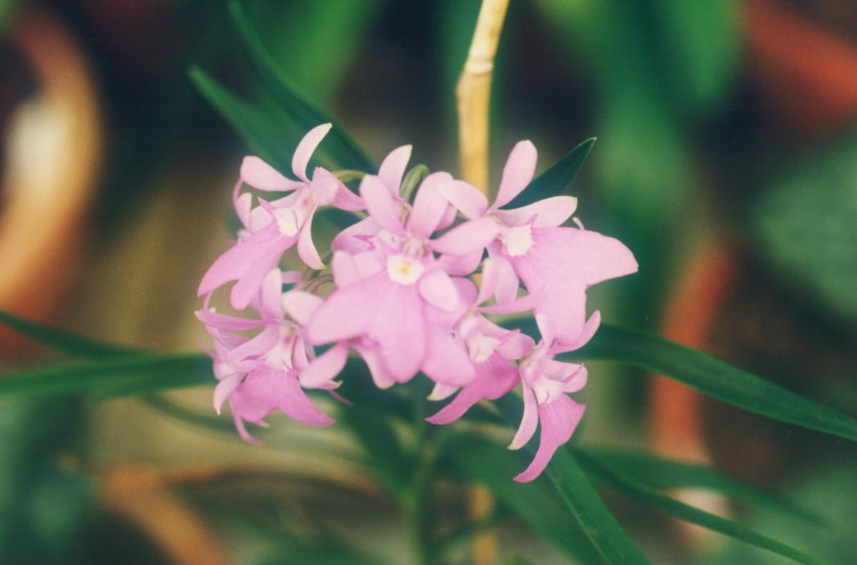 Epidendrum Orchids