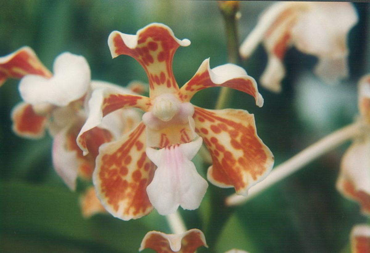 Vanda Orchids