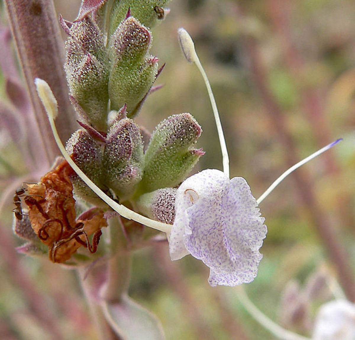 White sage has become quite the buzz lately.