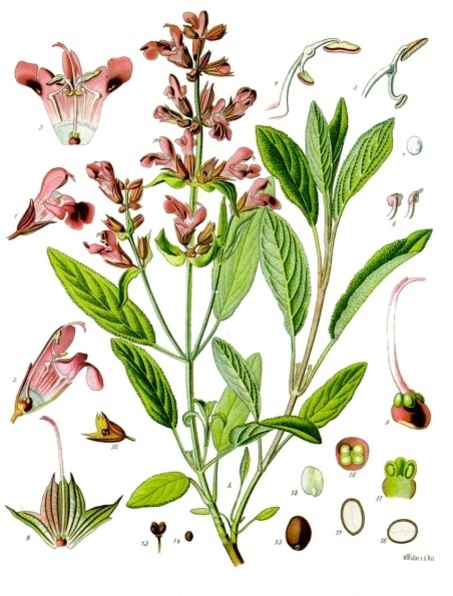 Sage herbal print.