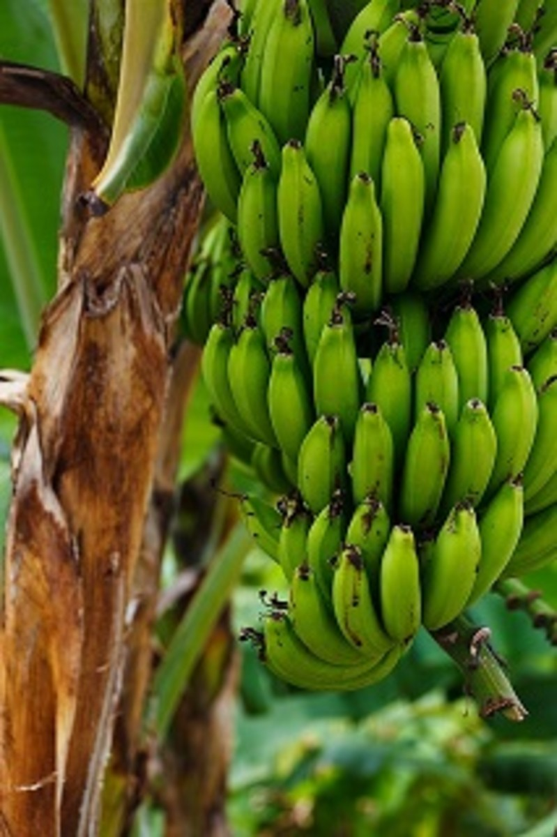 Green bananas work best