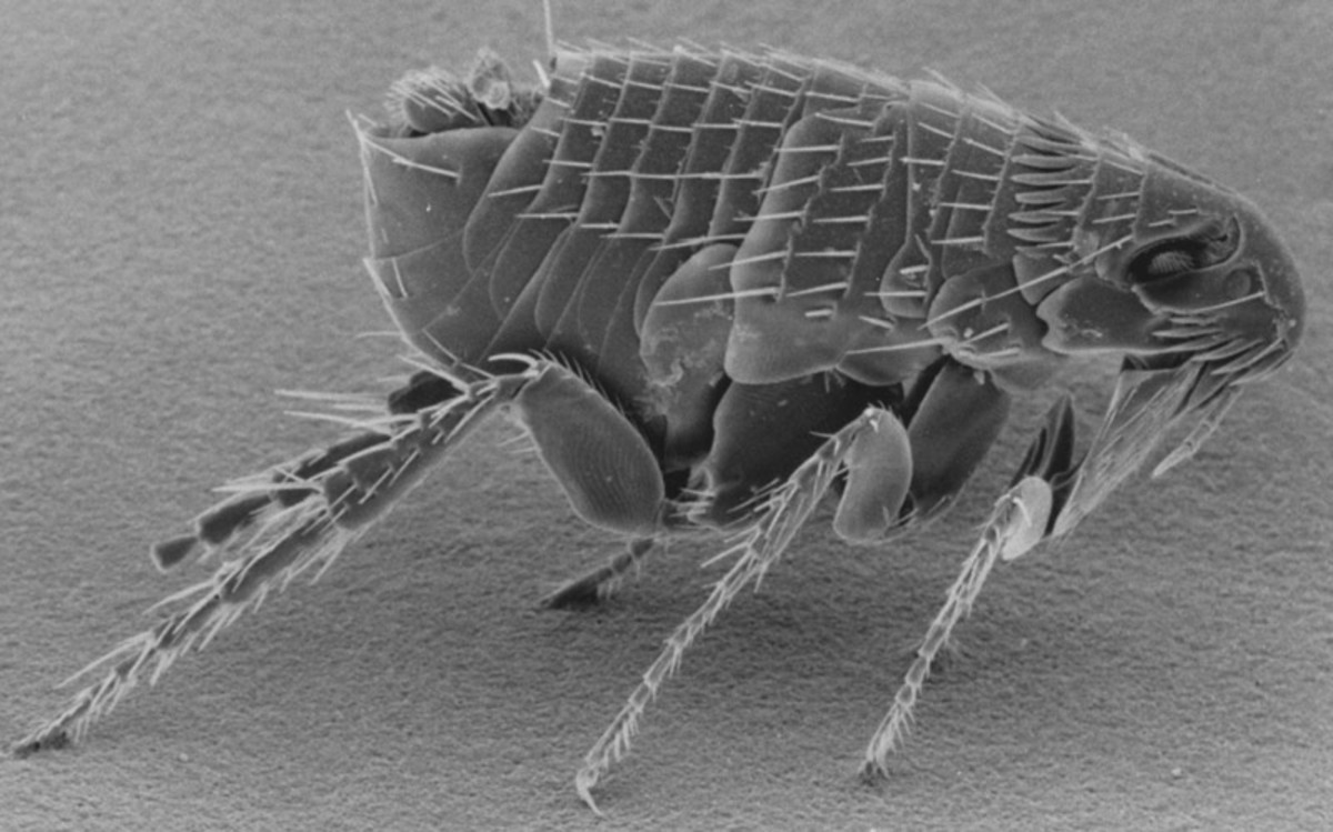 Scanning electron micrograph of an adult flea.