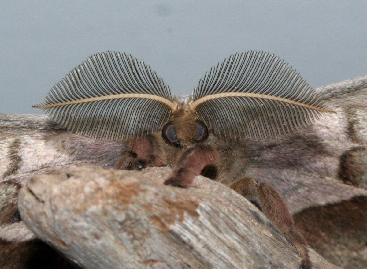 Close up of the antennae of a male Polyphemus moth.