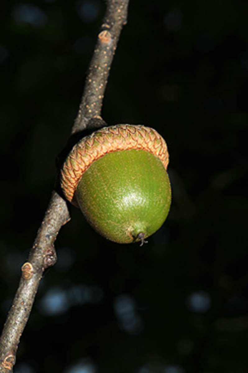 The Northern Red Oak's acorns take 2 years to mature.  The tree can produce acorns as young as age 20, with most not producing acorns until 40 to 50 years of age.