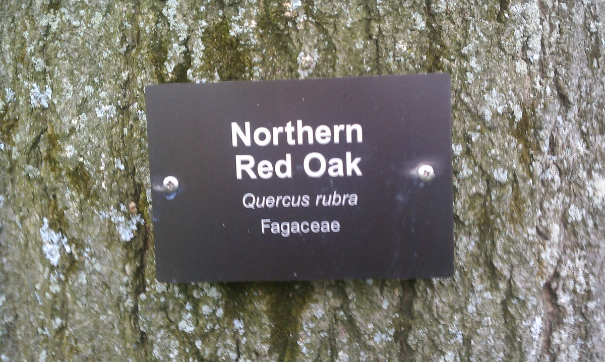 ... is a featured tree of the Arboretum at Penn State Behrend in Erie, Pennsylvania.