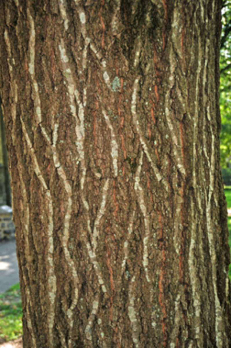 """The bark of the mature tree is scaly, shallow, and said to resemble """"ski tracks"""".  Underneath the bark is reddish or pink in color."""